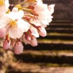 みやみや-桜① (720x960)