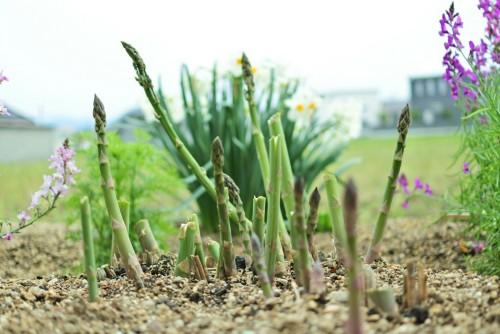 庭に生えているアスパラガス